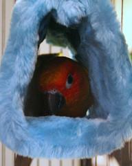 1537446820_a9cbeac701_m.jpg & parrot tent | Best in Flock - Parrot Blog