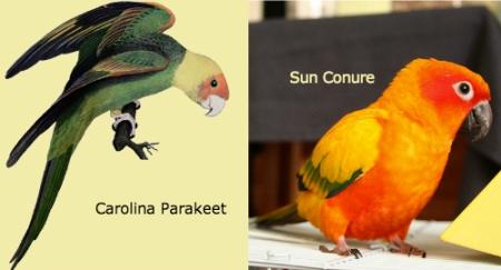 carolinaparakeet-v-sunconure